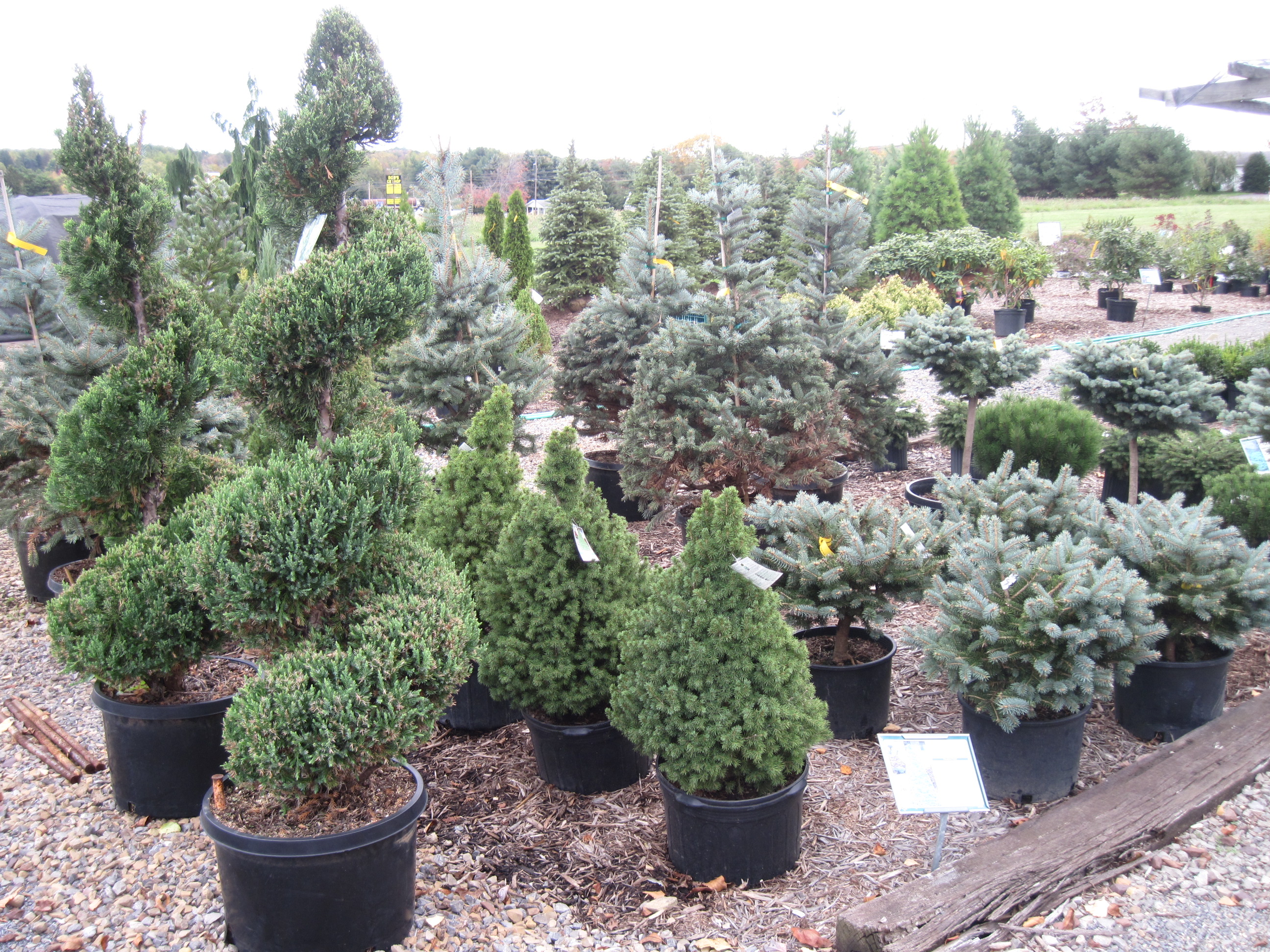 Evergreens For Sale In Clarion County, Pa.