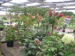 Perennials for sale at our Clarion County, Pa. Garden Center